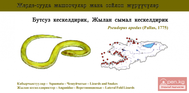 Желтопузик / Бутсуз кескелдирик, Жылан сымал кескелдирик / Sheltopusik, or Armour Glass-lizard
