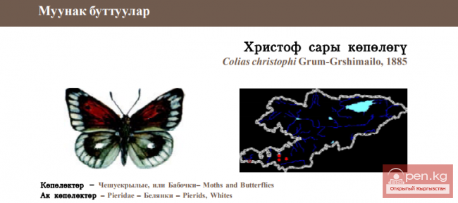 Желтушка Христофа / Христоф сары кёпёлёгу  Christoph's Clouded Yellow
